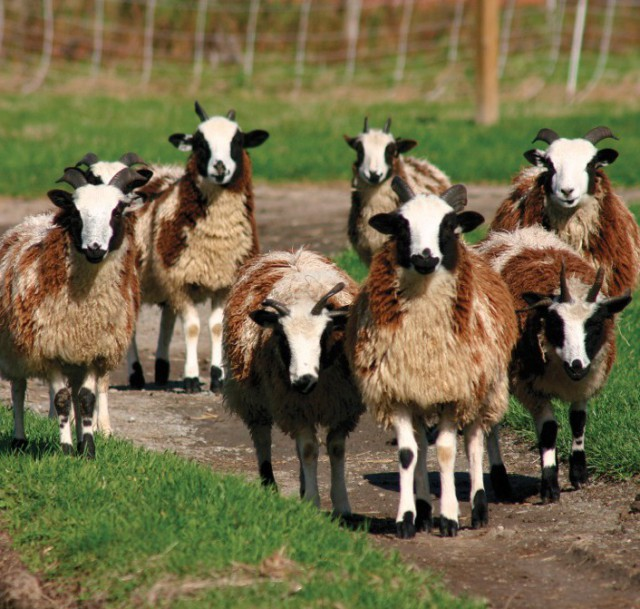 British sheep breed wearing the wool used to produce Hours